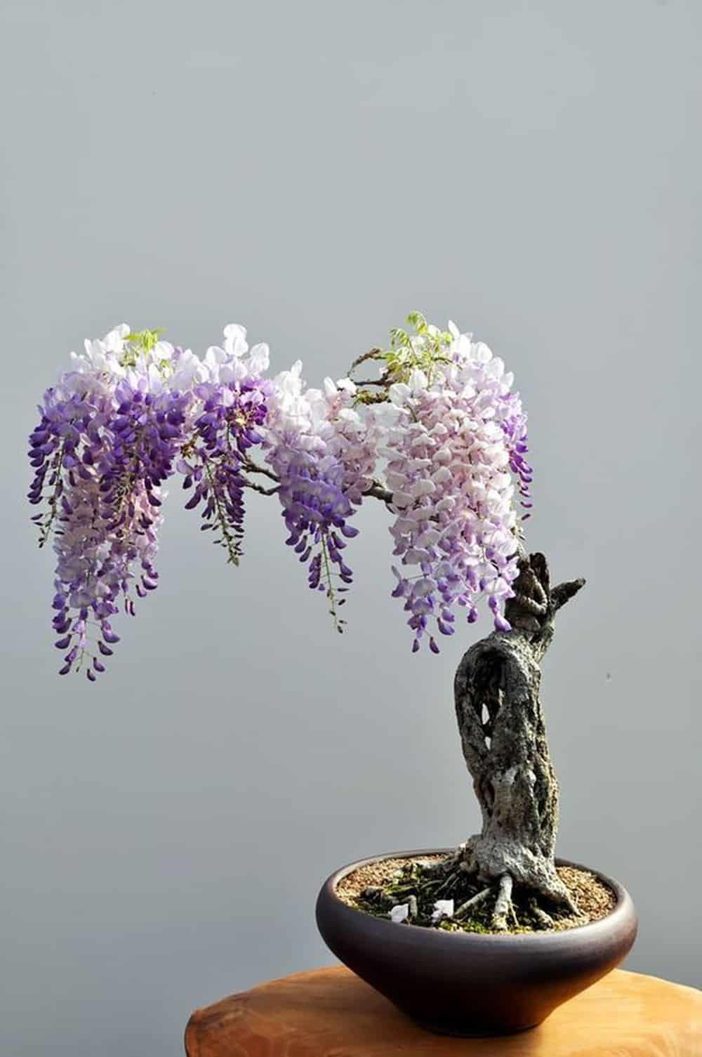 cây hoa tử đằng bonsai ra hoa đẹp