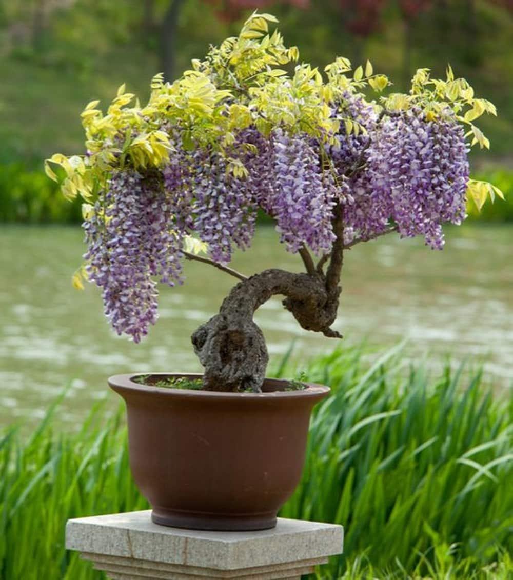cây hoa tử đằng bonsai