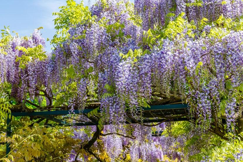 khu vườn vơi những cây hoa tử đằng