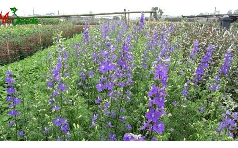 khu vườn hoa violet nở rộ trước vườn