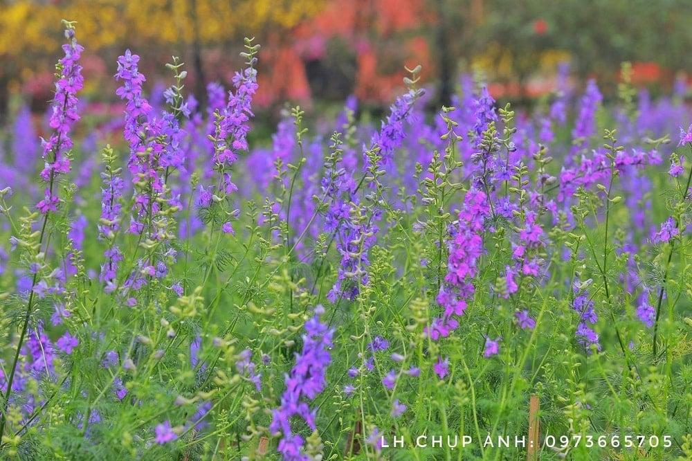 một khu vườn hoa violet trong mơ