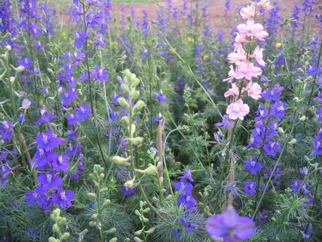 những cây hoa violet thi nhau đua nở