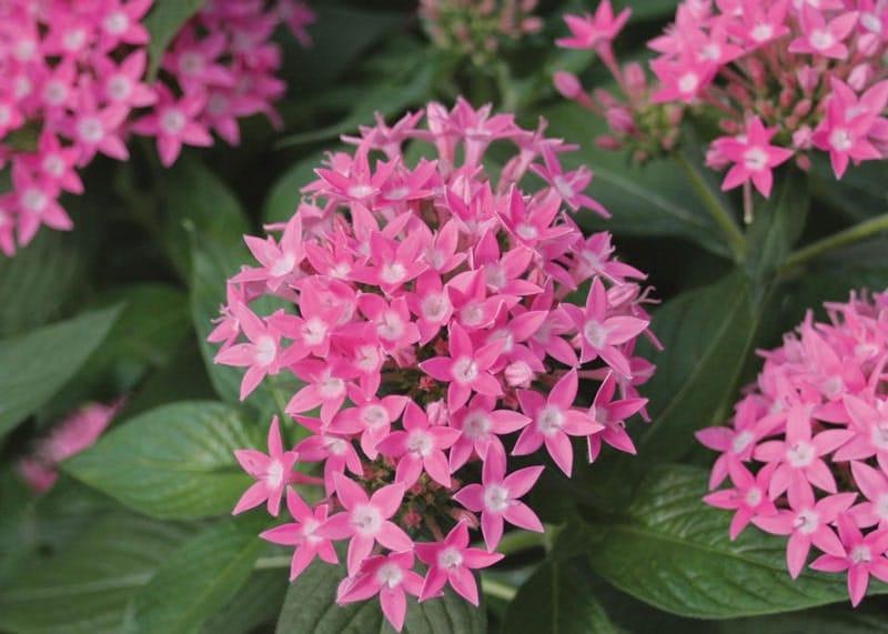 bông hoa diễm châu đổi màu sắc