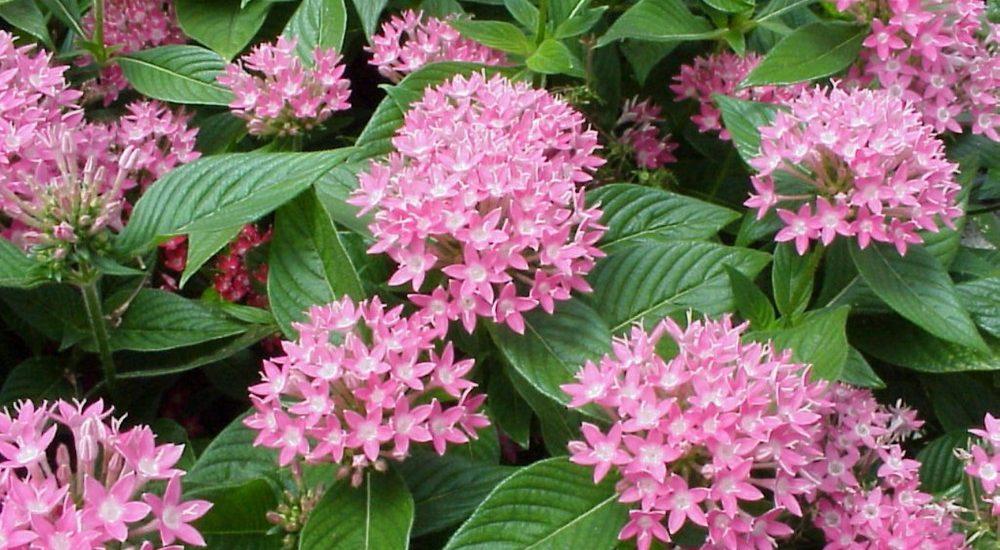 cây hoa diễm châu khoe sắc đẹp