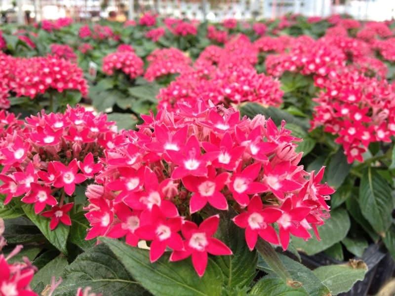 chậu hoa diễm châu xinh đẹp