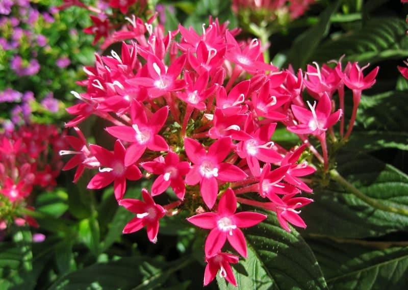 Chăm sóc hoa Hoa diễm châu trong chậu
