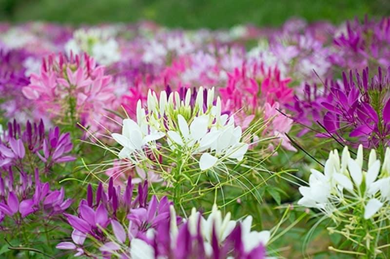 khu vườn hoa hồng ri