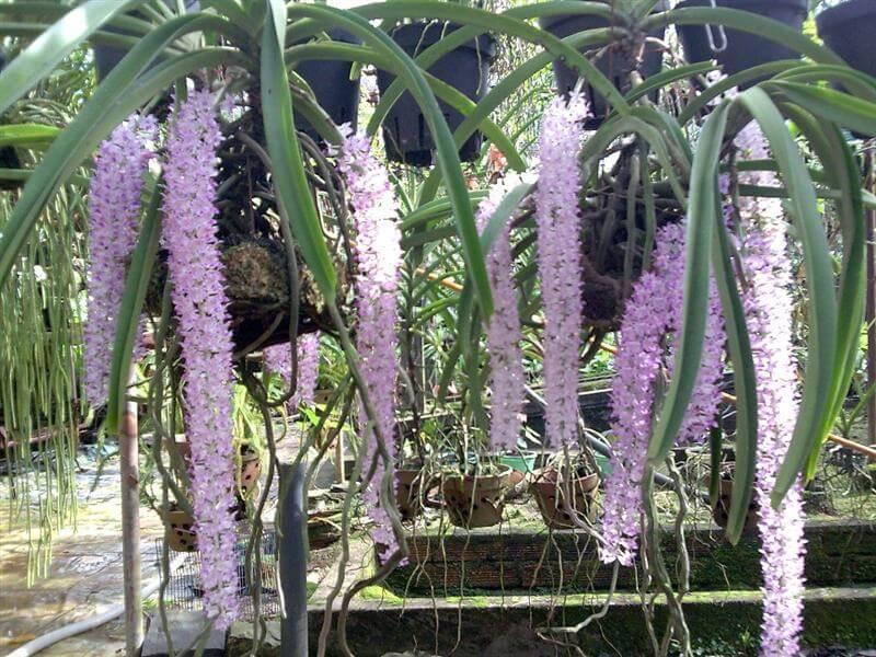 những bông hoa lan đuôi chồn mới lạ