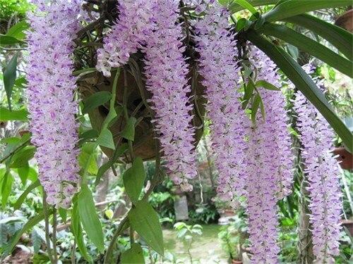 Kỹ thuật trồng và chăm sóc hoa lan đuôi chồn ra đúng dịp