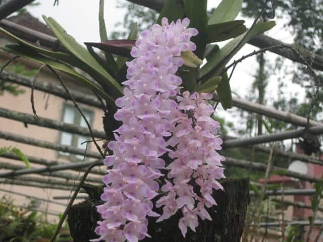 cách trồng và chăm sóc hoa lan đuôi chồn