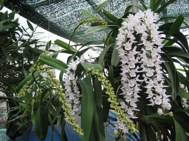 hoa phong lan đuôi chồn trắng