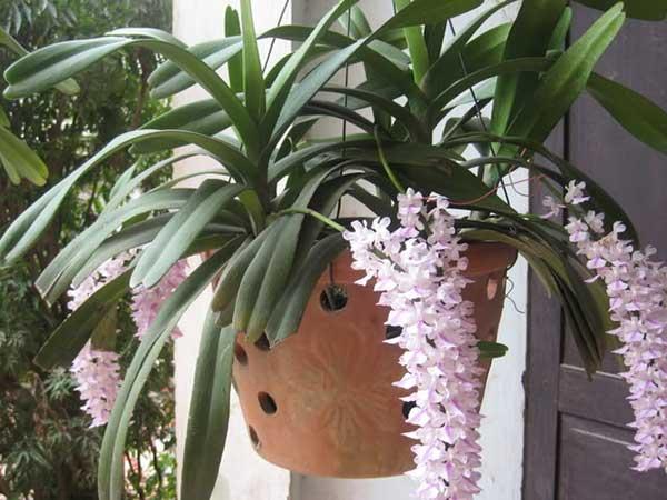 cây lan đuôi chồn trồng chậu ra nhiều hoa hơn