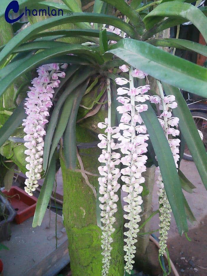 cây hoa lan đuôi chồn cho ra 4 loại bông to đẹp