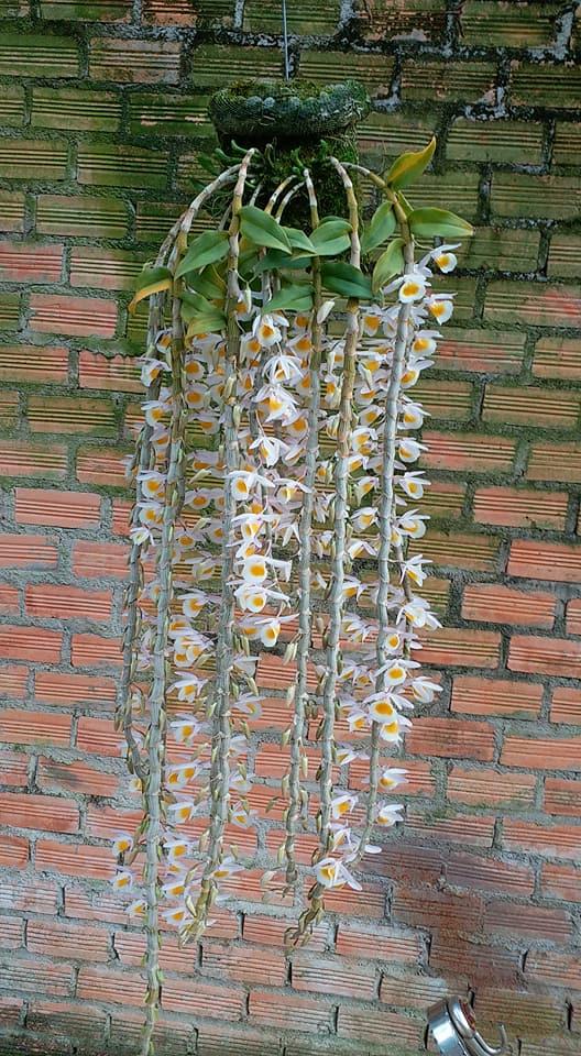 những cây lan long tu có chiều dài khỏe