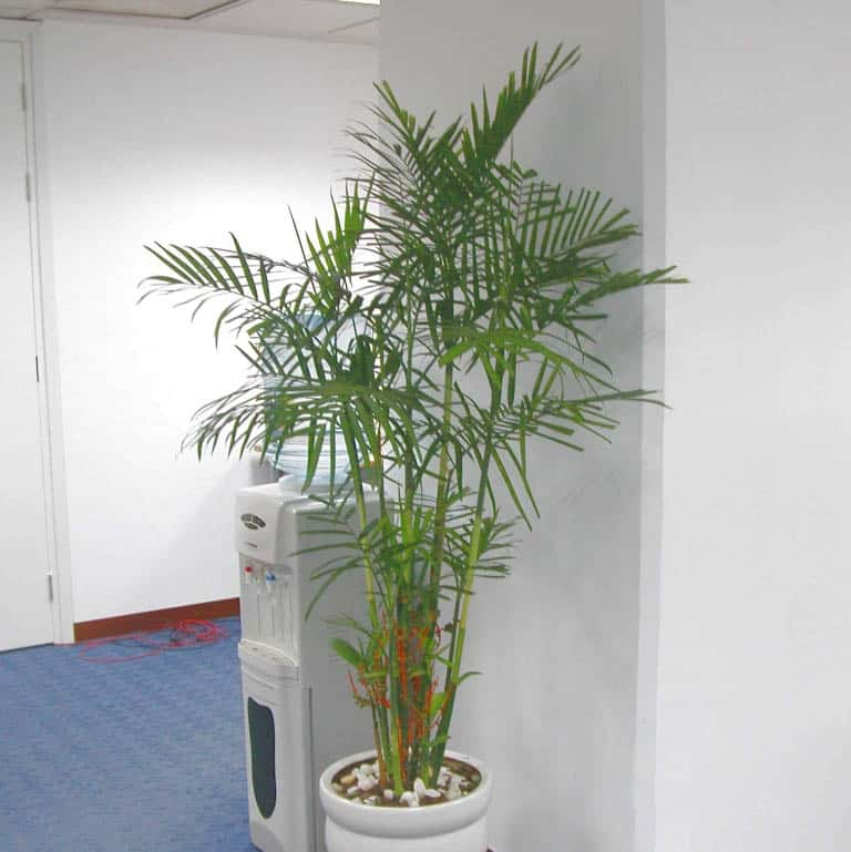 cây cau hawai trồng trong văn phòng làm việc