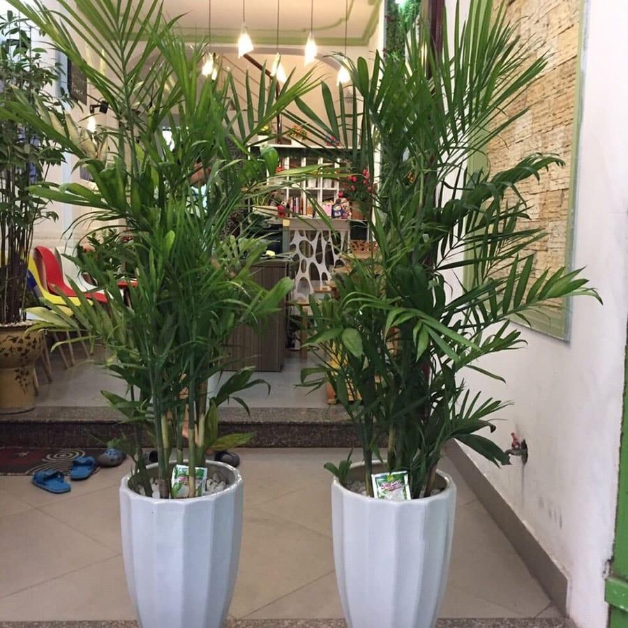 cây cau hawai phát triển tươi tốt
