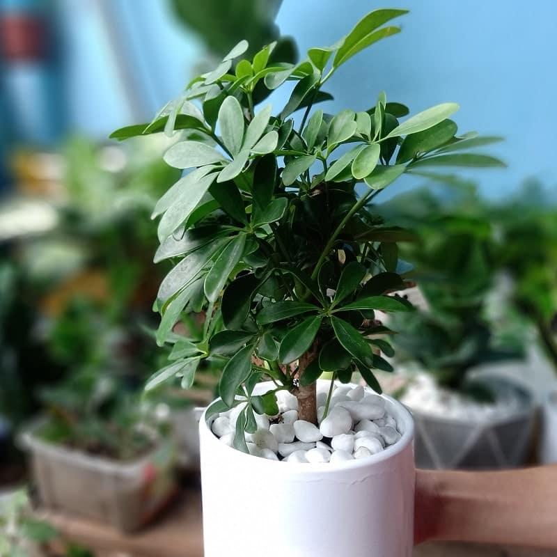 cây ngũ gia bì có thể trồng thủy sinh được không