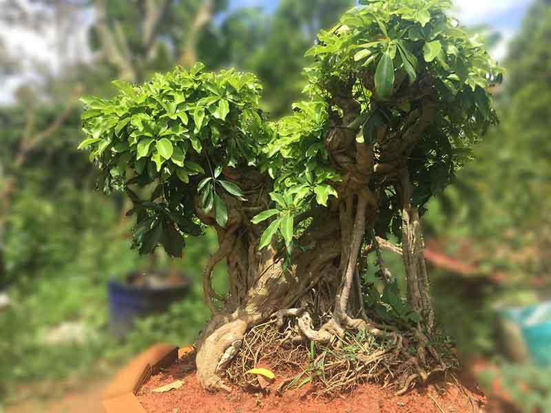 cây ngũ gia bì hợp với tuổi dần