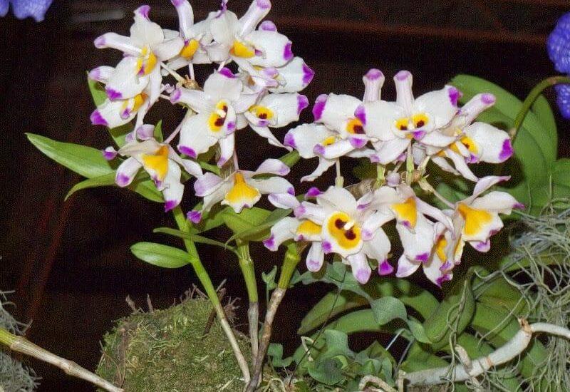 hoa lan hoàng thảo xoắn đẹp ấn tượng