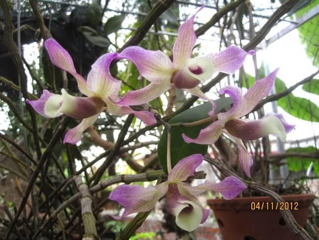 hoa lan hoàng thảo xoắn đẹp nhất