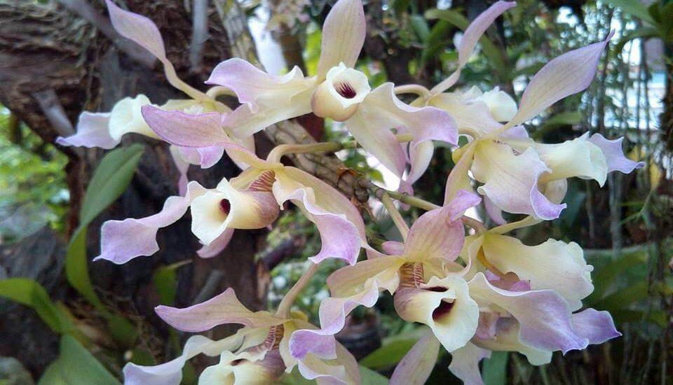 mặt hoa lan hoàng thảo xoắn