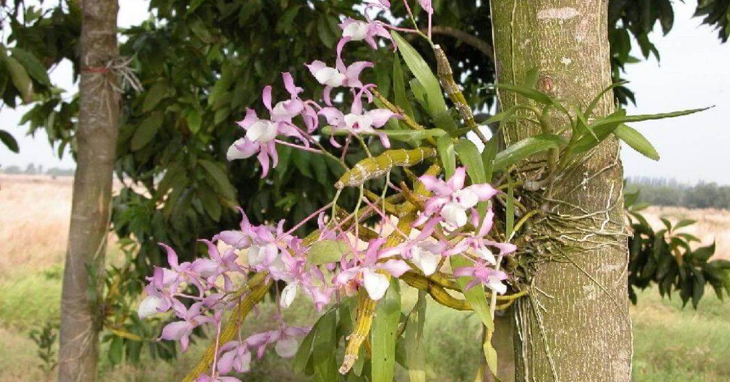 hoa lan hoàng thảo xoắn mọc trên cây