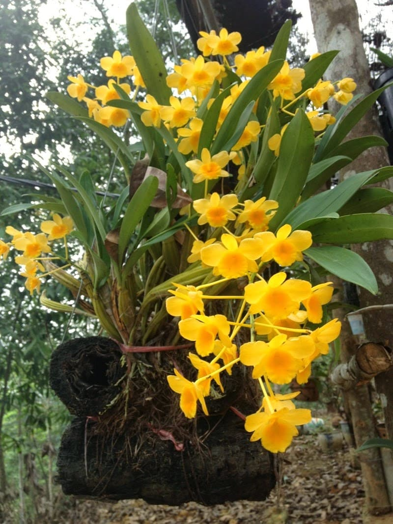 hoa lan thủy tiên nở đẹp