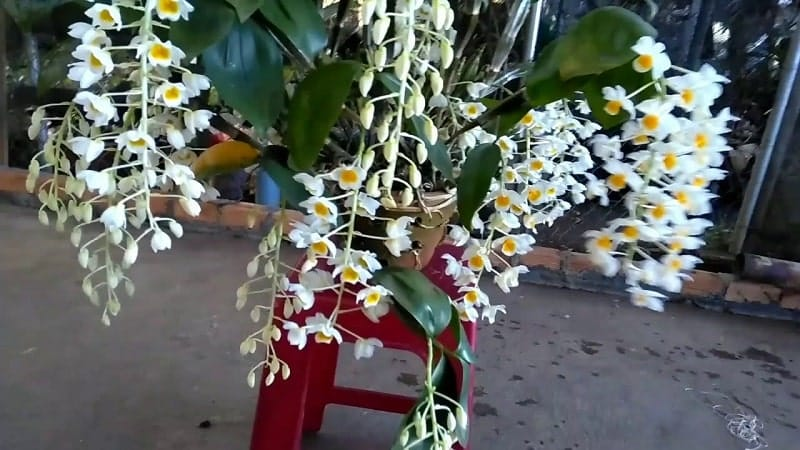 hoa lan thủy tiên trồng chậu nở hoa