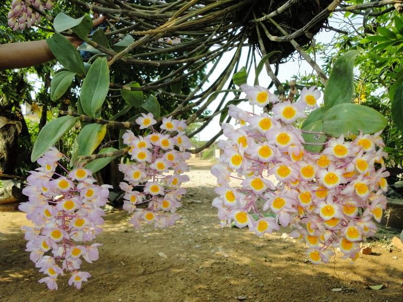 những bông hoa lan thủy tiên đẹp nhất