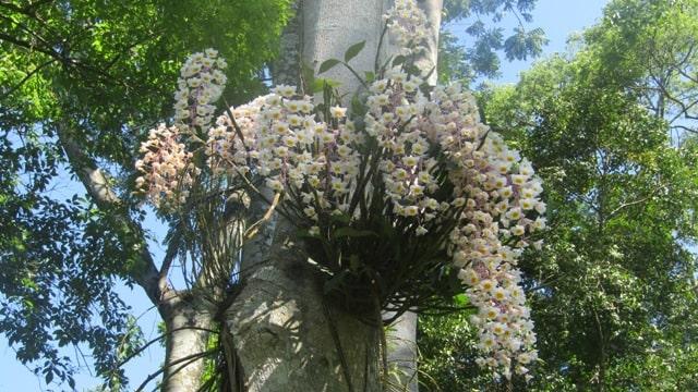 hoa lan thủy tiên rừng