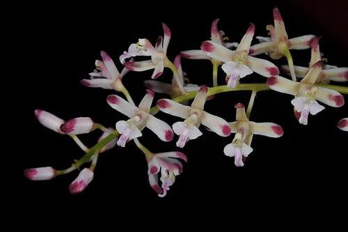 bông hoa lan tổ yến đẹp nhất