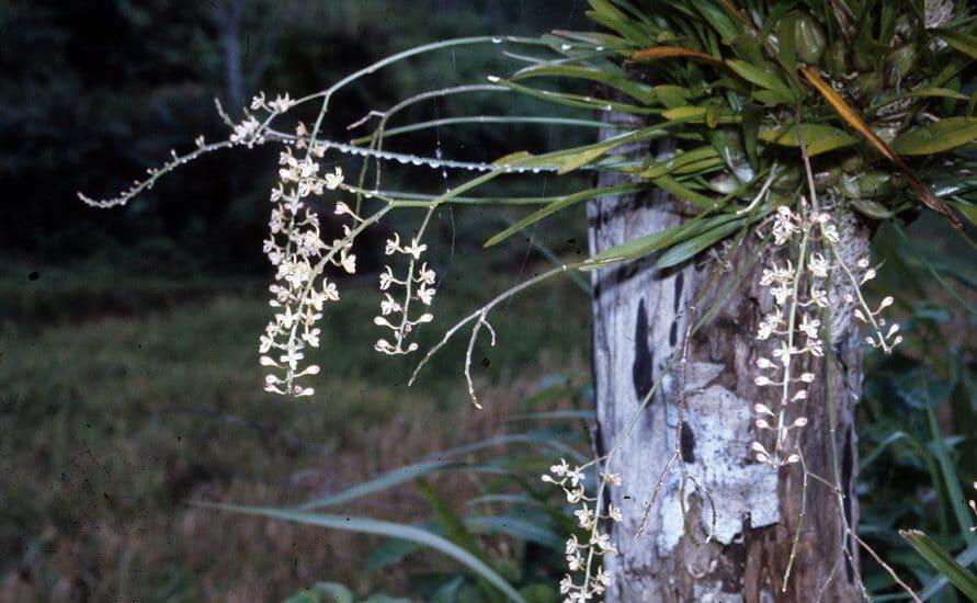 cách trồng lan tổ yến