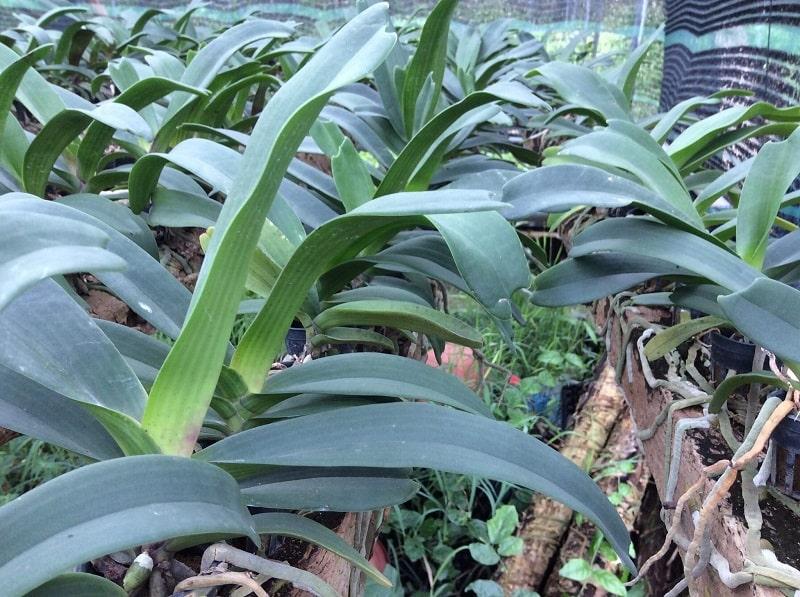 lan đai trâu trồng chậu đẹp