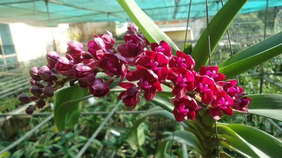 vòi hoa lan đai trâu dài