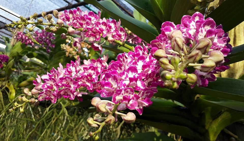 lan đau trâu tim nở nhiều vòi hoa