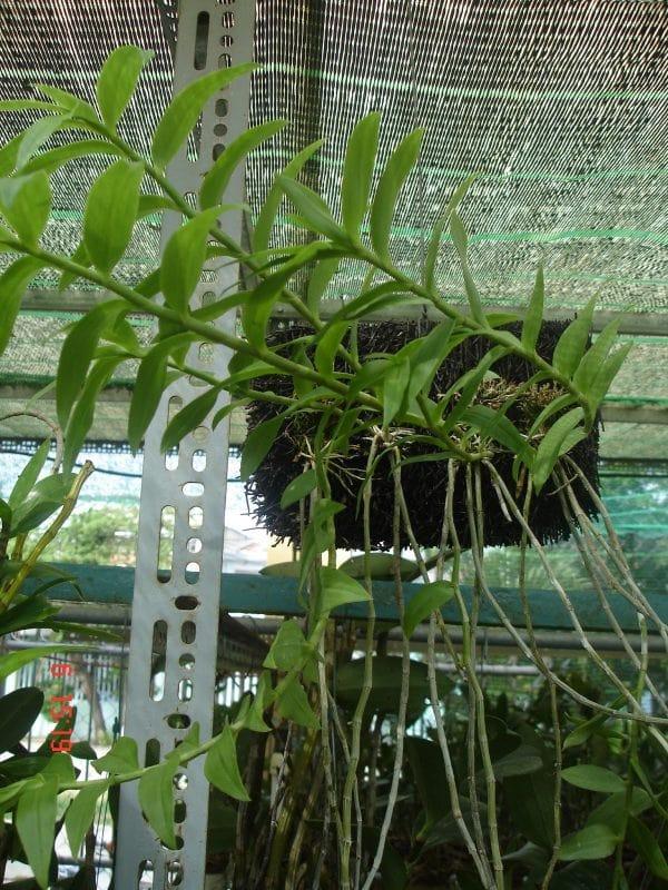 cách lựa chọn những cây lan hạc vỹ đẹp