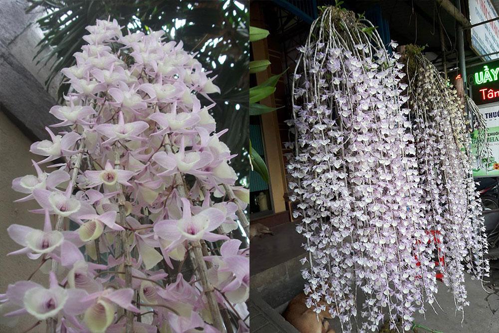 Lan hạc vỹ bắc hoa to đẹp với kích thước lớn