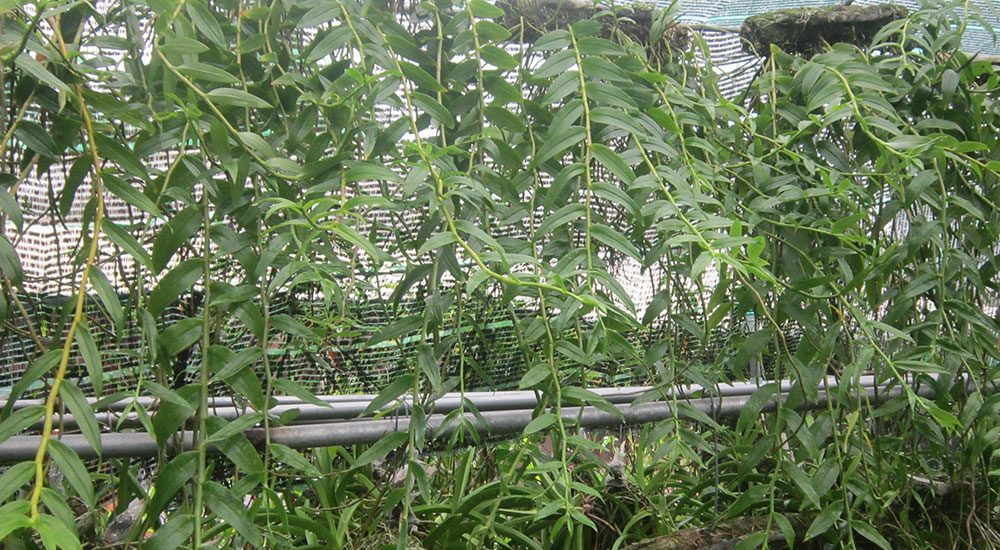 cây lan hạc vỹ phát triển mạnh