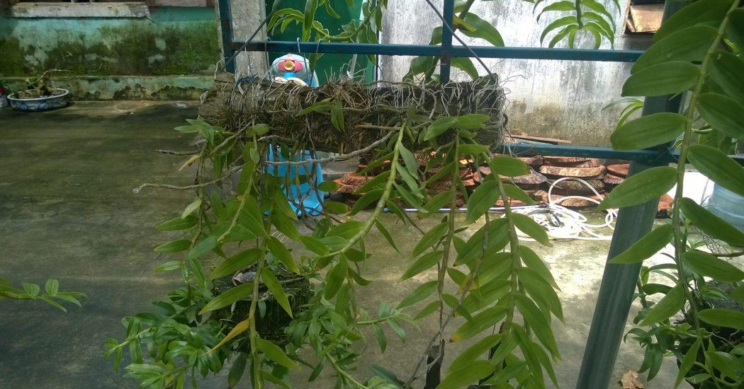 cây lan hạc vỹ trồng ghép vào gỗ
