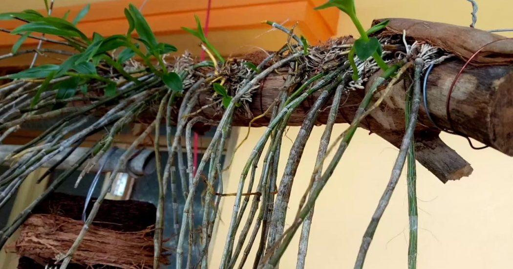cách ghép lan hạc vỹ vào gỗ