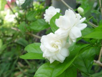 Chăm sóc cây hoa lài và những tác dụng tốt cho sức khỏe 11