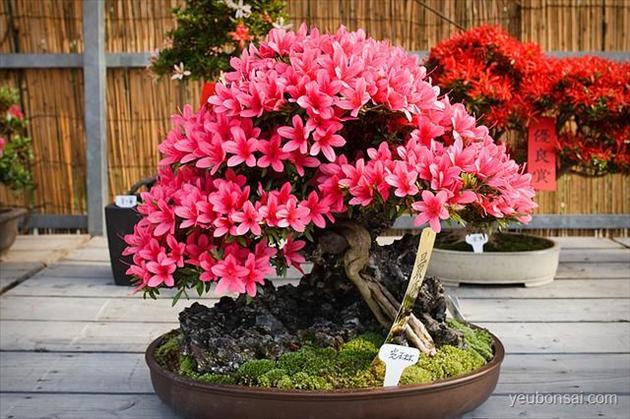 hoa đỗ quyên bonsai