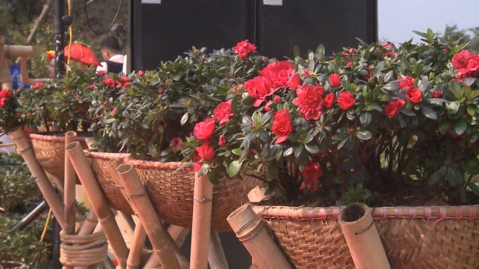 hoa đỗ quyên được xếp thành từng hàng