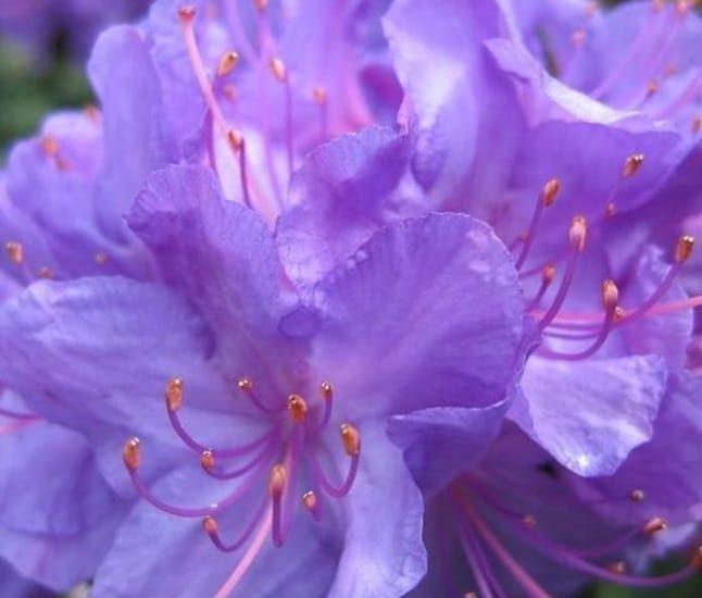 Hoa đỗ quyên sắc tím đại diện cho niềm vui, sự căng thẳng.