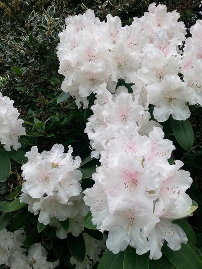 Đỗ quyên với những bông hoa nở thành cụm đẹp mắt.