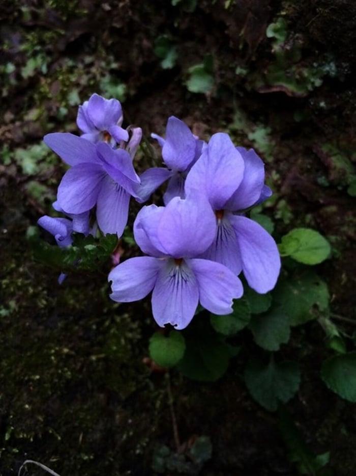 Những cánh hoa Đỗ quyên không chỉ đẹp, độc mà chúng còn giúp trị bệnh khá hiệu quả.