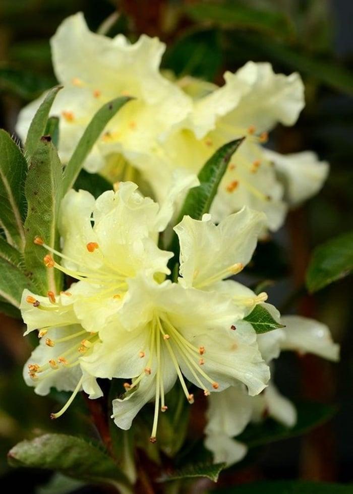 Một trong những loài hoa tượng trưng cho tình bạn và gia đình chính là hoa Đỗ quyên vàng.