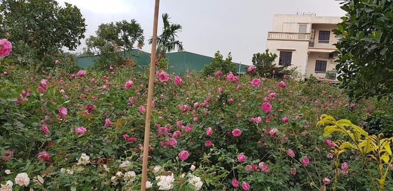 khu vườn hoa hồng cổ sapa