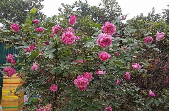 Cây giống hồng cổ sapa