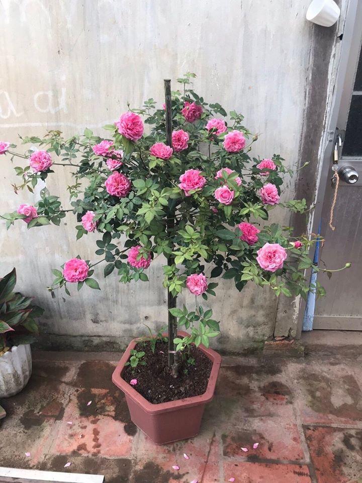 hoa hồng cổ sapa có mấy màu